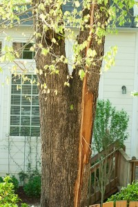 Lightning Damaged Tree Bark